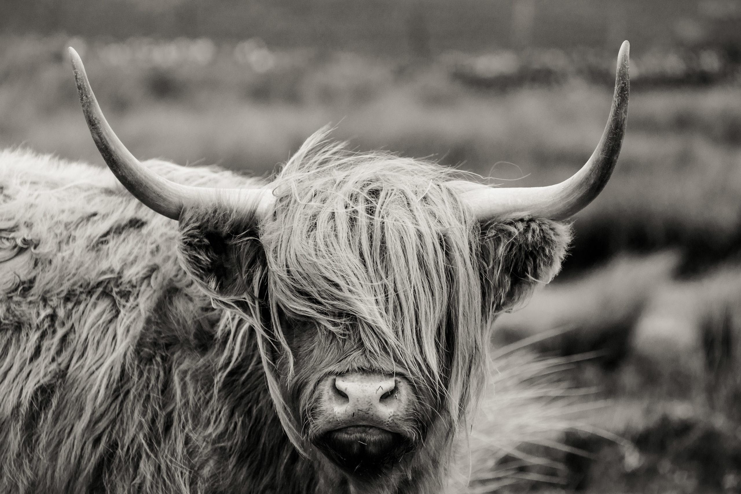 bull_fringe_lessimones